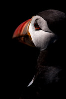 Puffin Study